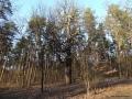 Bäume - Eichen - Galerie 10 - Teufelssee - Kindereinrichtung