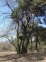 Bäume - Kiefern - Pichelswerder