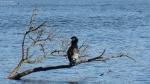 2015-03-22-dsc08519-grunewaldsee-kormoran-a-klein
