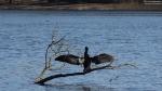 2015-03-22-dsc08520-grunewaldsee-kormoran-a-klein