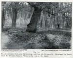 1906 Alte Eiche Grunewald - 1907 Der Grunewald bei Berlin Dahl klein